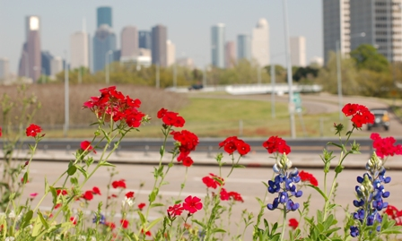 bluebonnets by downtown